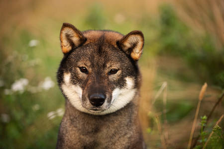 Close-up portrait of cute and beautiful japanese dog breed shikoku sitting in the forest in fall Фото со стока