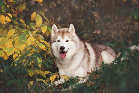 Portrait of beautiful and happy Beige and white dog breed Siberian Husky lying in the bright golden autumn forest at sunset