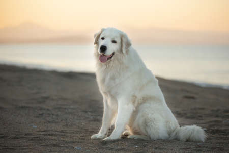 Beautiful, happy and free maremmano abruzzese dog on the beach. Big fluffy white dog at golden sunset in summer