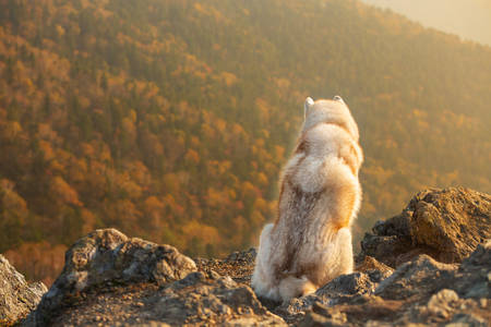 Happy and free dog breed siberian husky sitting on the hill on the mountains background in autumn at sunset