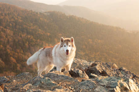 Happy and free dog breed siberian husky standing on the hill on the mountains background in autumn at sunset