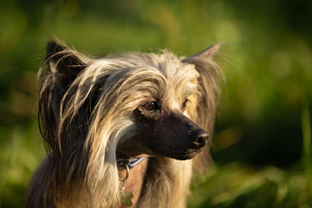 Close-up Portrait of beautiful hairless Chinese Crested Dog in summer at sunset