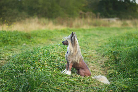 Portrait of beautiful hairless Chinese Crested Dog sitting in the field in summer at sunset