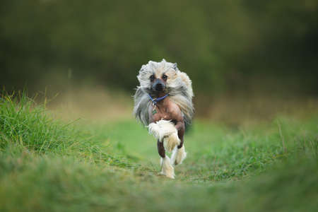 Beautiful and happy Chinese Crested Dog running in the grass Фото со стока - 132293435
