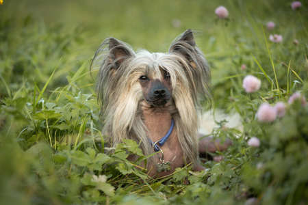 Portrait of beautiful hairless Chinese Crested Dog lying in the field in summer at sunset