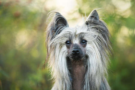 Portrait of beautiful hairless Chinese Crested Dog in summer at sunset Фото со стока - 132293434