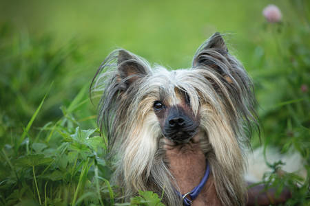 Portrait of beautiful hairless Chinese Crested Dog lying in the field in summer at sunset Фото со стока - 132293436