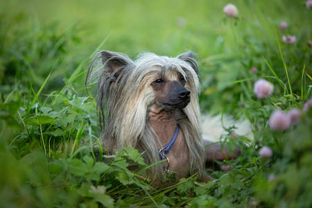 Portrait of beautiful hairless Chinese Crested Dog lying in the field in summer at sunset Фото со стока - 132293437