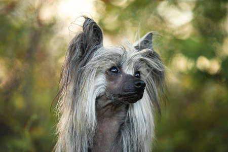 Portrait of beautiful hairless Chinese Crested Dog in summer at sunset