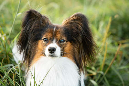 Close-up Portrait of beautiful papillon dog lying in the green grass field in summer. Gorgeous Continental toy spaniel outdoors at sunset