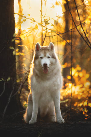 Close-up Portrait of free and beautiful Beige Siberian Husky in golden autumn season on a bright forest background