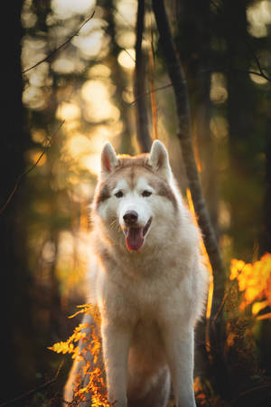 Close-up Portrait of free and beautiful Beige Siberian Husky in golden autumn season on a bright forest background Фото со стока - 132293439