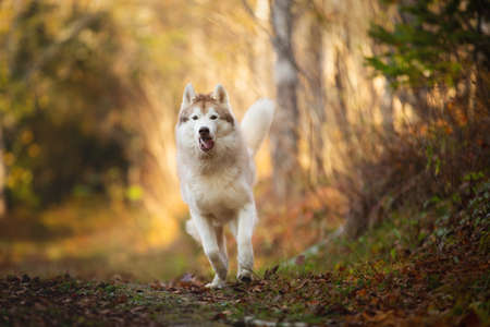 Portrait of crazy and happy dog breed Siberian husky with tonque hanging out running in the bright yellow autumn forest. Cute beige and white husky dog jumping in the golden fall forest at sunset