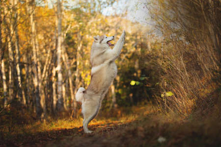 Portrait of crazy and happy dog breed Siberian husky with tonque hanging out jumping in the bright yellow autumn forest. Cute beige and white husky dog jumping in the golden fall forest at sunset