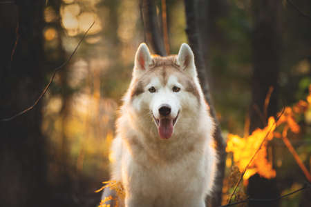 Close-up Portrait of happy and beautiful Beige Siberian Husky in golden autumn season on a bright forest background Фото со стока