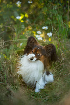 Close-up Portrait of cute and funny papillon dog sitting in the green grass in summer. Gorgeous Continental toy spaniel outdoors at sunset Фото со стока