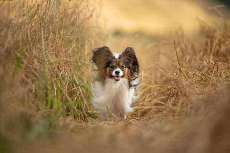 Portrait of happy and crazy papillon dog running fast on the path in the rye field. Cute and beautiful dog breed continental toy spaniel having fun outdoors in fall