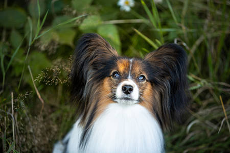 Close-up Portrait of cute papillon dog sitting in the green grass in summer. Gorgeous Continental toy spaniel outdoors Фото со стока