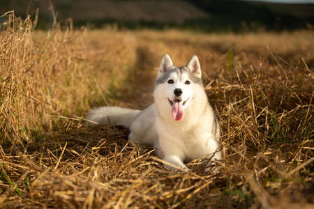 Close-up Portrait of happy beige dog breed siberian husky with tonque hanging out lying in the bright rye field at sunset