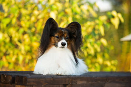Profile Portrait of Beautiful papillon dog lying on the wooden bench in the park in bright fall. Close-up. Adorable Continental toy spaniel outdoors at sunset