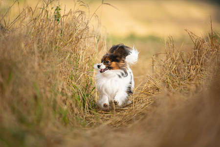 Profile Portrait of happy and crazy papillon dog running fast on the path in the rye field. Cute and beautiful dog breed continental toy spaniel having fun outdoors in fall