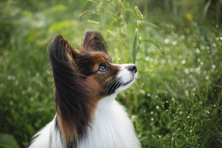 Profile Portrait of cute and beautiful papillon dog sitting in the green grass in summer. Profile image of Gorgeous Continental toy spaniel outdoors