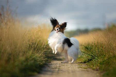 Portrait of happy and crazy papillon dog jumping fast on the path in the field. Cute and beautiful dog breed continental toy spaniel having fun outdoors in fall Фото со стока