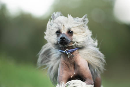 Close-up Portrait of Beautiful and happy Chinese Crested Dog running in the field in autumn Фото со стока