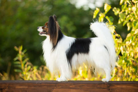 Portrait of Beautiful papillon dog standing on the wooden bench in the park in bright fall. Close-up. Adorable Continental toy spaniel outdoors at sunset Фото со стока