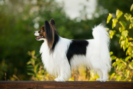 Profile Portrait of Beautiful papillon dog standing on the wooden bench in the park in bright fall. Close-up. Adorable Continental toy spaniel outdoors at sunset Фото со стока