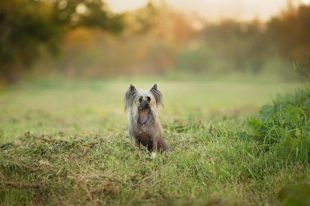 Portrait of beautiful and happy hairless Chinese Crested Dog sitting in the forest in summer at sunset