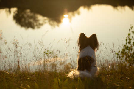 Portrait of Beautiful papillon dog sitting on the river bank back to the camera at sunset. Close-up. Cute Continental toy spaniel outdoors at sunset