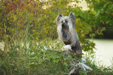 Profile Portrait of beautiful and happy hairless Chinese Crested Dog standing in the green field in summer at sunset Фото со стока - 132293686
