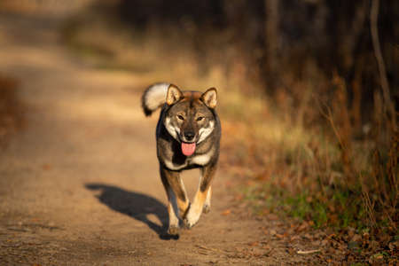 Funny, happy and crazy Young Shikoku Dog running fast In the forest at sunset. Rare Japanese shikoku dog having fun in autumn Фото со стока