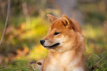 Profile portraiit of Beautiful and happy shiba inu dog lying on the grass in the forest at golden sunset. Red shiba inu female puppy