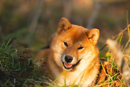 Close-up portraiit of Beautiful and happy shiba inu dog lying on the grass in the forest at golden sunset. Cute Red shiba inu female puppy Фото со стока - 132293694