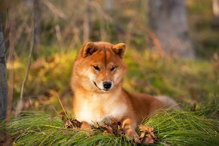 Profile portraiit of Beautiful and happy shiba inu dog lying on the grass in the forest at golden sunset. Lovely Red shiba inu female puppy