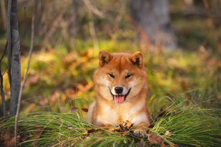 Close-up portraiit of Beautiful and happy shiba inu dog lying on the grass in the forest at golden sunset. Cute Red shiba inu female puppy Фото со стока - 132293691