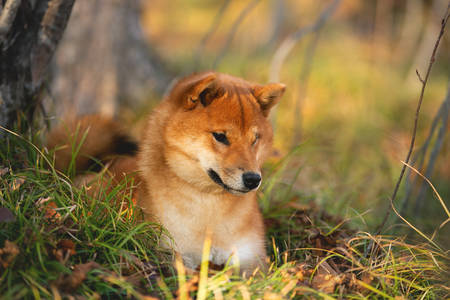 Profile portraiit of Beautiful and happy shiba inu dog lying on the grass in the forest at golden sunset. Lovely Red shiba inu female puppy Фото со стока - 132293693
