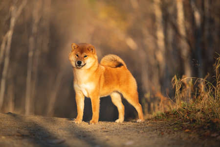 Portraiit of adorable and happy shiba inu dog standing in the forest at golden sunset. Cute Red shiba inu female puppy in autumn