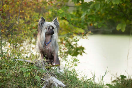 Profile Portrait of beautiful and happy hairless Chinese Crested Dog standing in the green field in summer at sunset