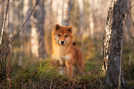 Portrait of adorable and happy shiba inu dog standing on the hill in the forest at golden sunset. Cute and beautiful Red shiba inu female puppy in autumn