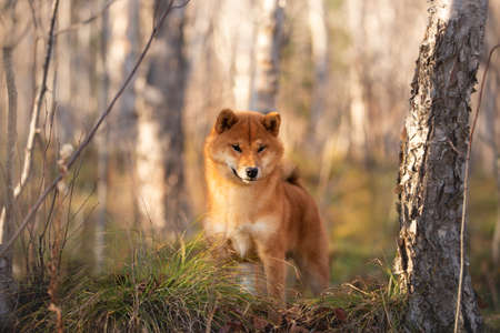Profile Portrait of adorable and happy shiba inu dog standing on the hill in the forest at golden sunset. Cute and beautiful Red shiba inu female puppy in autumn Фото со стока - 133399651