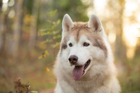 Close-up Portrait of beautiful, free and happy Beige and white dog breed Siberian Husky sitting in the bright autumn forest at sunset Фото со стока - 133400785