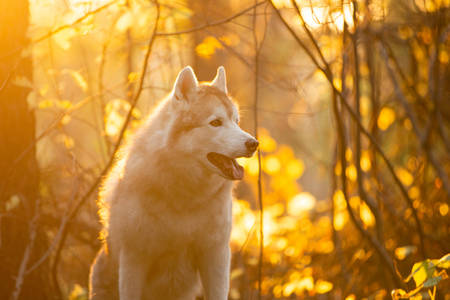 Profile Portrait of free and beautiful Beige Siberian Husky in golden autumn season on a bright forest background