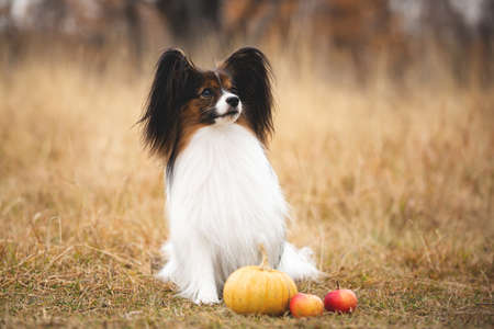 Profile Portrait of beautiful and happy papillon dog sitting in the field in fall. Gorgeous Continental toy spaniel with pumpkin and apples outdoors Фото со стока - 132796093