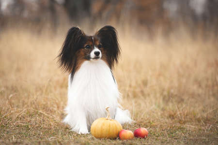 Close-up Portrait of beautiful and happy papillon dog sitting in the field in fall. Gorgeous Continental toy spaniel with pumpkin and apples outdoors Фото со стока - 132796020