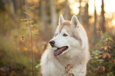 Profile Portrait of prideful and gorgeous Beige Siberian Husky in golden fall season on a bright forest background