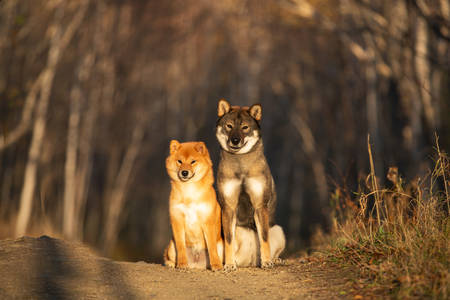 Portraiit of adorable and happy shiba inu dog and shikoku dog sitting in the forest at golden sunset. Cute Red shiba inu female puppy and shikoku dog in autumn