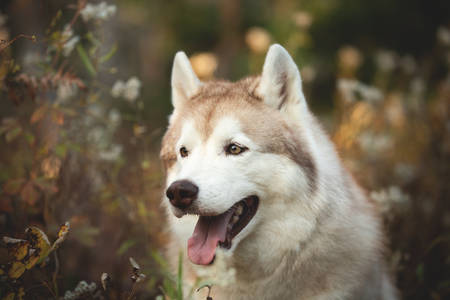 Profile Portrait of prideful and gorgeous Beige Siberian Husky in golden fall season on a bright forest background Фото со стока - 133399752